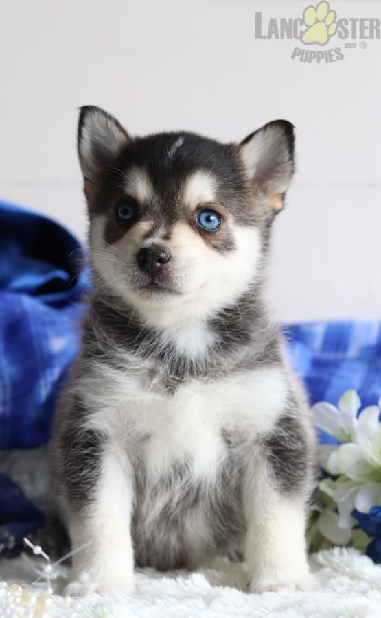 Mr Zimba Pomsky Mini Puppy For Sale In Martinsburg Pa