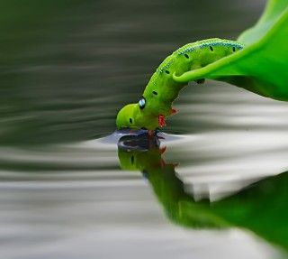 caterpillar drinking