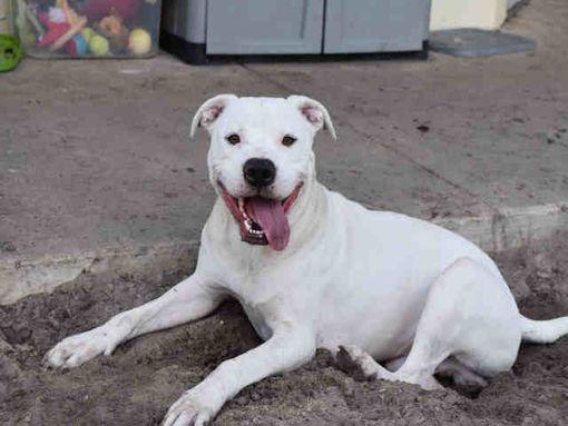 Gainesville Fl Dogo Argentino Meet Blizzard A Pet For Adoption Pet Adoption Dogo Argentino Pets