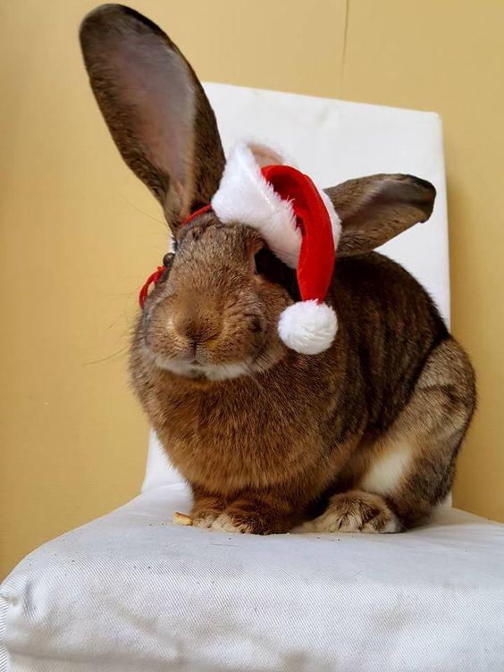 Santa Bunny Ho ho ho!