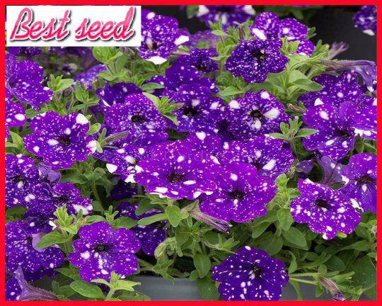 Petunia Blue Sky Petunia Seeds 200 Seeds Professional Pack