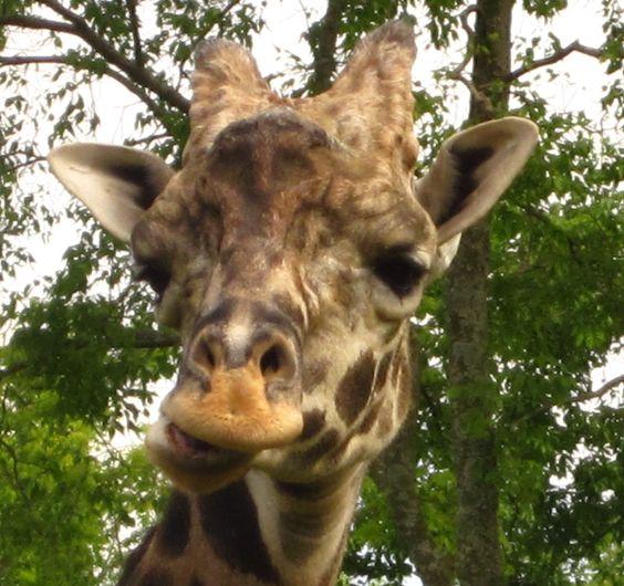 Giraffe smile :)