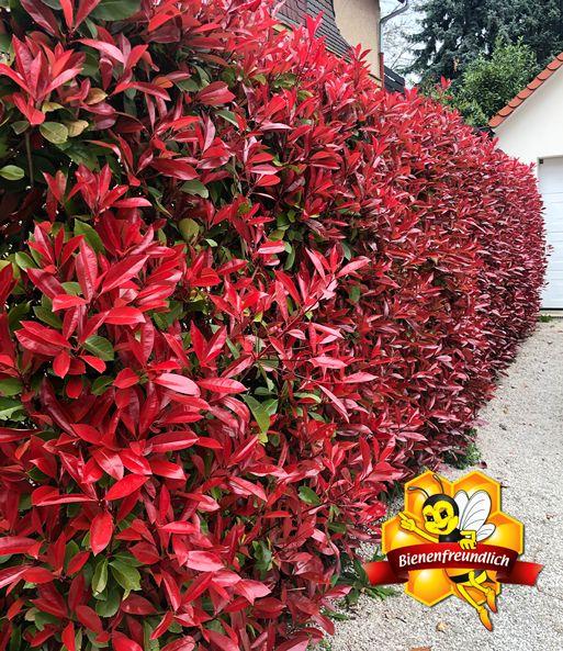 Photinia Hecke Red Robin 1a Heckenpflanzen Baldur Garten In 2020 Winterharte Pflanzen Pflanzen Winterharte Pflanzen Garten