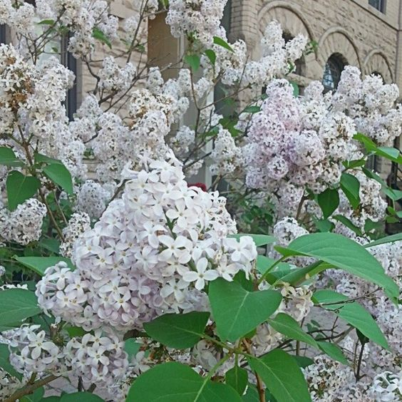 Love the scent of #lilacs - #flowers #beautiful #startthedayright