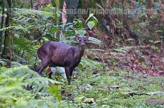 A doe Red Brocket Deer(Mazama americana), at the edge of a cloud forest track photographed by James Christensen at Mindo on the western slopes of Andes, Ecuador on 2nd January 2010
