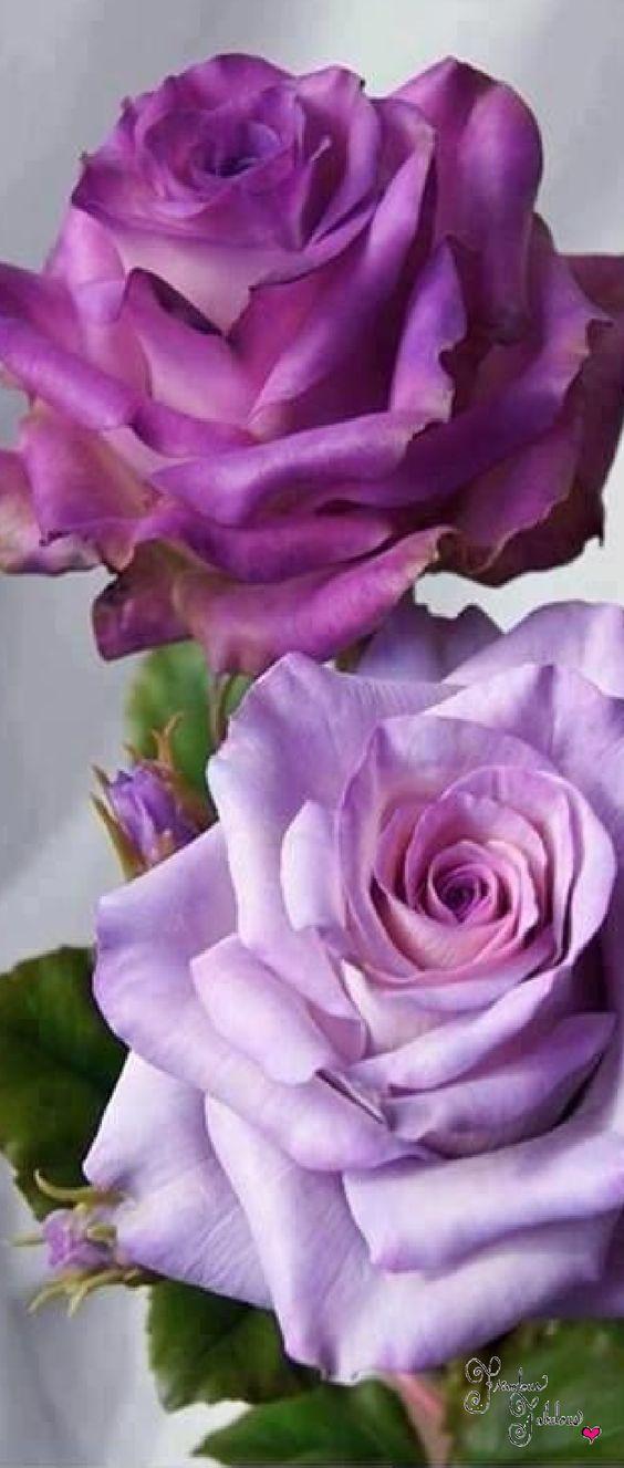 roses violettes: