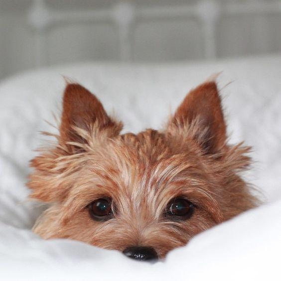 Norwich Terrier, so expressive!