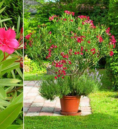 plantes fleuries laurier rose
