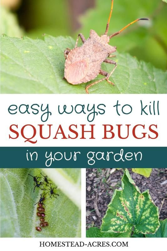 How To Get Rid Of Squash Bugs Squash Bugs Backyard Vegetable