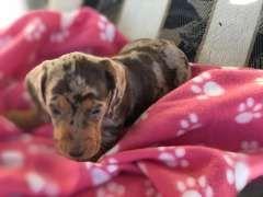 Miniature Dachshund Dachshund Puppies For Sale Maitland New