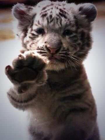 Baby Snow Leopard : Summer Place! :* | Cute ...