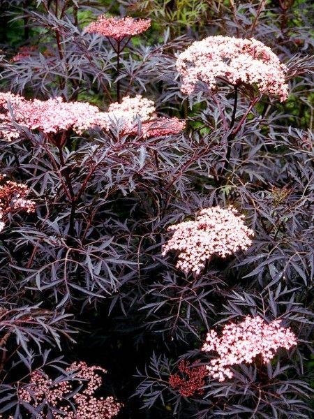 sureau noir black lace 39 eva 39 sambucus nigra fleurs pinterest fleur noir et pink. Black Bedroom Furniture Sets. Home Design Ideas