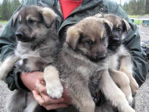 This is three times the fun. Gawd, these dogs are so cute.