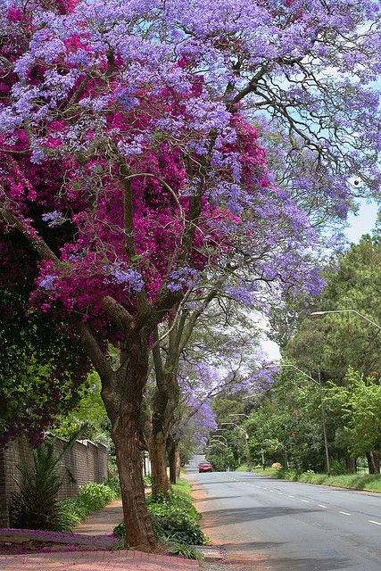 Jacaranda Trees And Bougainvillea Blooming All Over