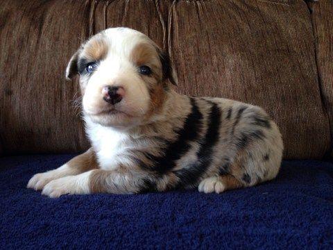Litter Of 9 Australian Shepherd Puppies For Sale In Bridgewater