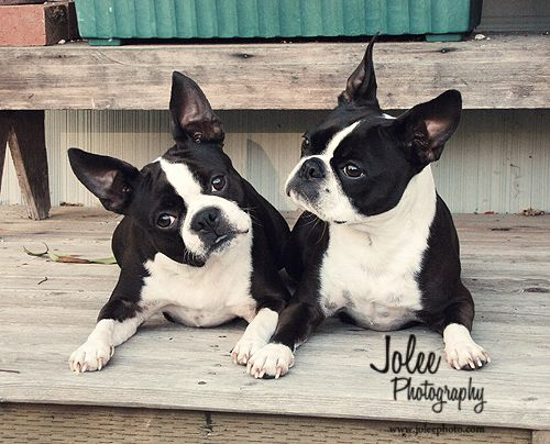 Boston Terriers #dogs #pet #photography #dog #boston #terriers