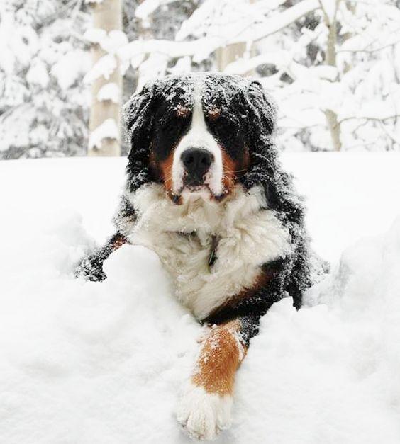 Berners LOVE snow!                                                                                                                                                                                 More