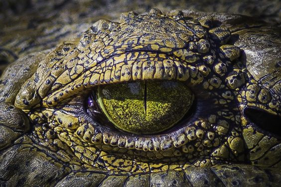 Crocodile Eye by Hamish Mitchell on 500px