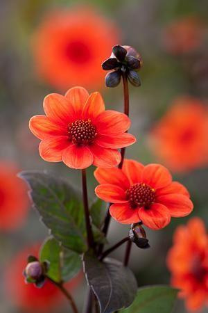 Dahlia 'Scura' landscaping, red flower, gardening, planting: