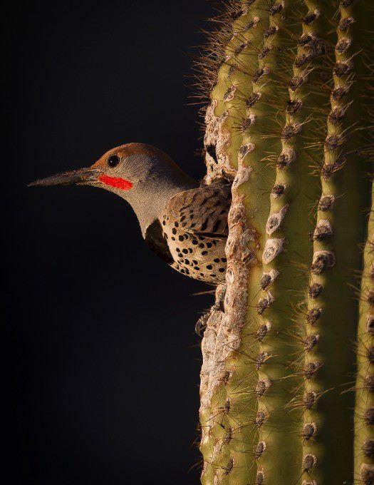 cactus inhabitant