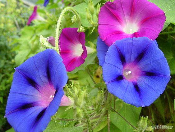 How to Grow Morning Glories: 12 Steps (with Pictures) - wikiHow