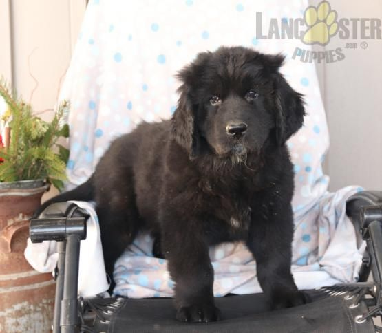 Babe Newfoundland Puppy For Sale In Christiana Pa In 2020