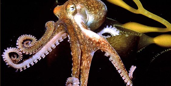 ... deep takes center stage when NATURE presents The Octopus Show