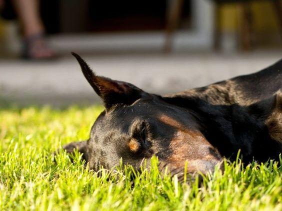 Ein ständig müder Hund könnte an einer Schilddrüsenunterfunktion leiden – Bild: Shutterstock / Bartek Lichocki