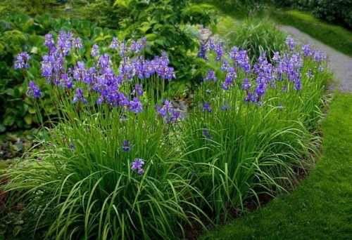 Irys Syberyjski Kosaciec Syberyjski Plants Garden Herbs