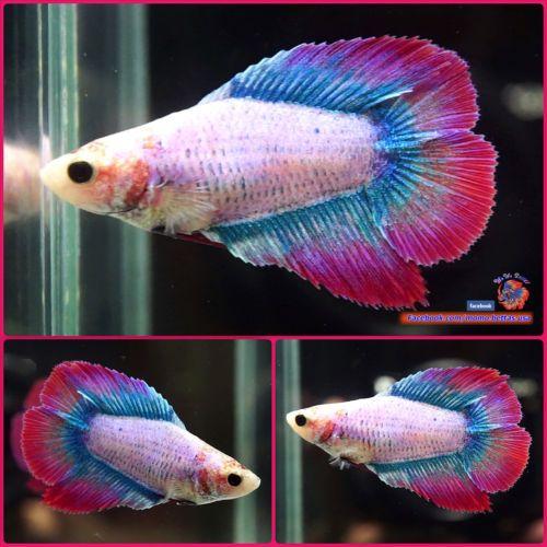 Live Betta Fish Female Blue Grizzled Purple Double Tail Dt 2105 Betta Fish Betta Fish Pet