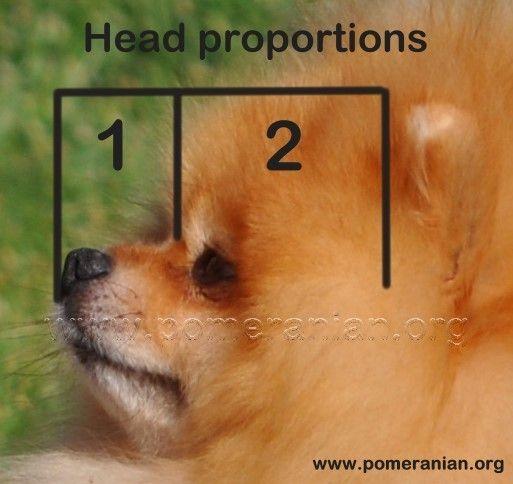 Pomeranian Dog Correct Head Pomeranian Dog Pomeranian Save A Dog