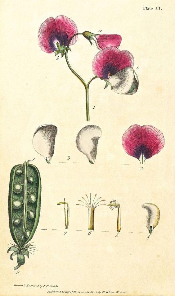 GEMÜSE - ERBSEN - Pisum sativum - F.P. Nodder - kolorierter Kupferstich 1788 in Antiquitäten & Kunst, Grafik, Drucke, Originaldrucke vor 1800 | eBay