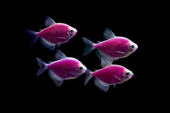 Four Galactic Purple glofish.