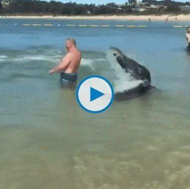 Boi-marinho caçando peixes na costa das praias.