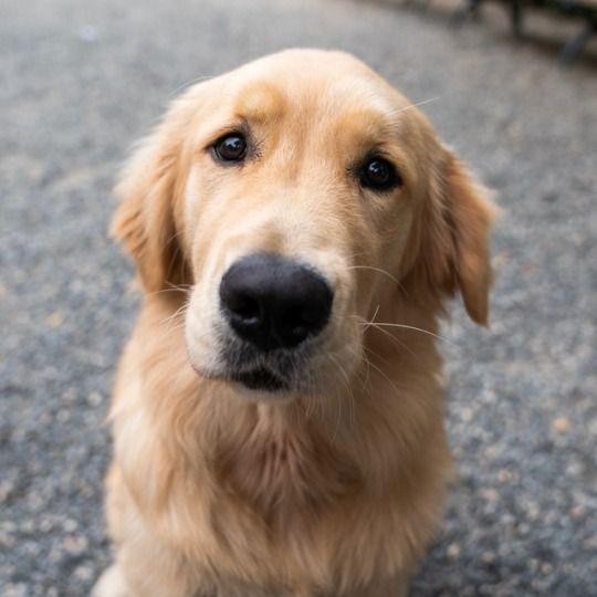 Miles Golden Retriever 6 M O Union Square New York Ny He S Fabulous Mr Chill Golden Retriever Domestic Dog Animals
