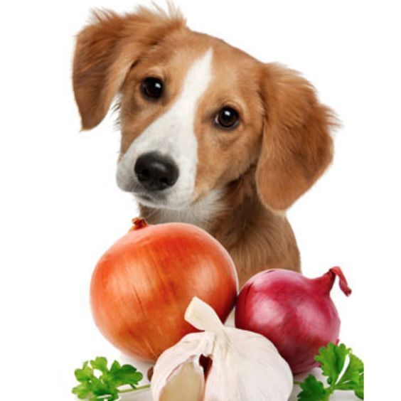 Can Dogs Eat Onions? Are Onions Safe
