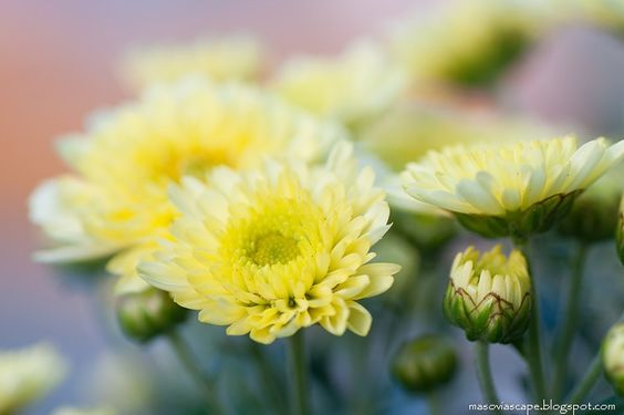 Yellow Chrysanthemum Photo by Frauke