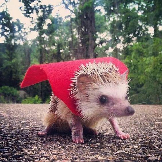 A hedgehog wearing a cape