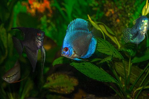 Blue Discus Fish Coolest Freshwater Fish Freshwater Fish Tropical Fish Fish Tank Coolest Freshwate Aquarium Fish Freshwater Aquarium Fish Freshwater Aquarium