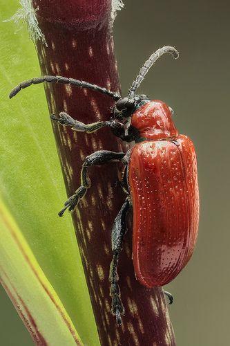 Scarlet Lily Beetle by Andre de Kesel