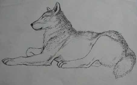 Drawings In Pencil Wolf Drawings And Dog Drawings On Pinterest