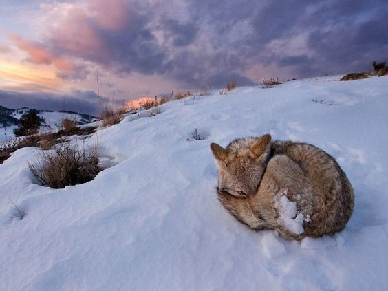 July 2012 - National Geographic - Coyote - Yellowstone National Park - Wyoming