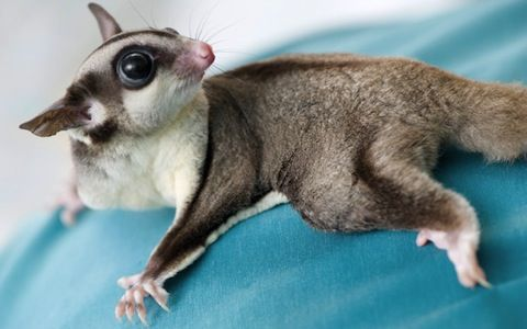 These exotic pets are adorable, but responsible pet owners should consider these twelve questions before getting a sugar glider.