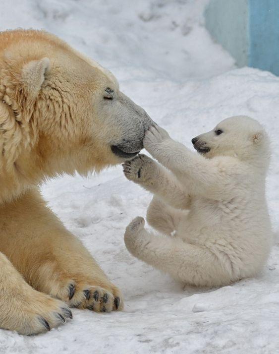 Polar Bears, parece de pelúcia.