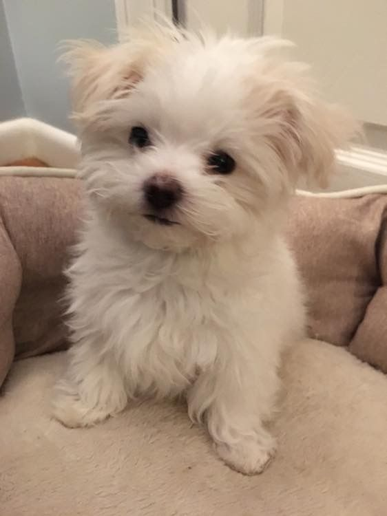 Maltese Puppy Maltese Puppy Teacup Puppies Maltese Cute Animals