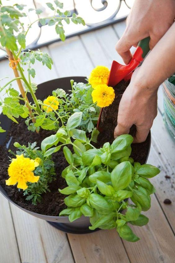Planter des tomates cerises en pot : comment faire ?  Planters ...