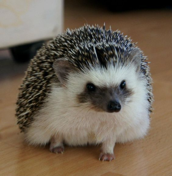 Bailey the african pigmy hedgehog by ~BabyBerry15 on deviantART
