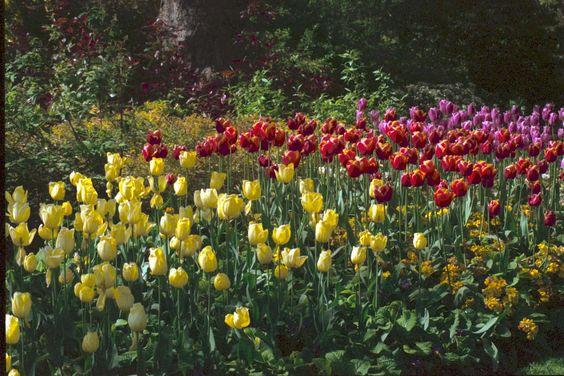 Tulips, St James's Park, London