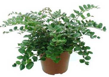 Pellaea Rotundifolia Google Search Plant ID