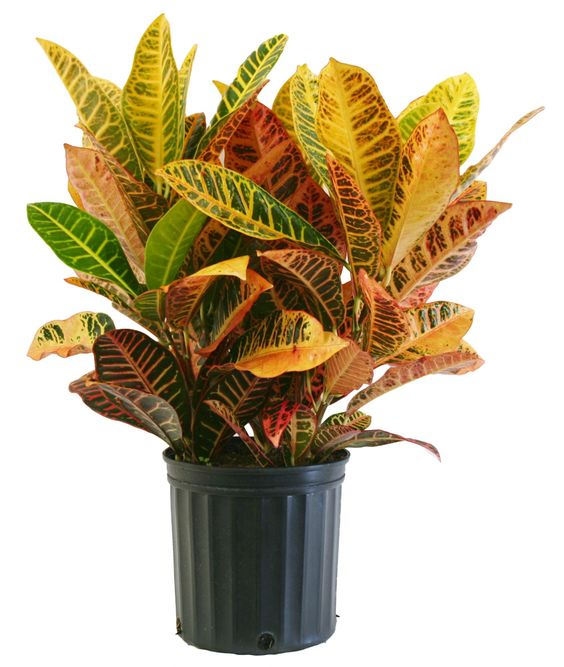 Delray plants croton petra 10in pot for Croton plant